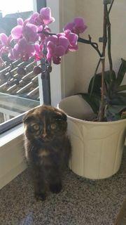 scottisch fold kitten.