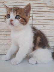 Scottish Fold KatzeScottish Fold Katze