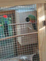 königssittiche königsittiche sittich papagei zuchtpaar