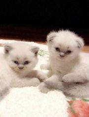 BKH Scottish Fold Kitten - Blue