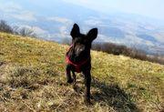 Thai Ridgeback Welpen thailändischer Hund