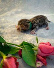 Reinrassige Bengal Kitten mit XXL