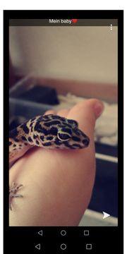 3 Leopardgecko Weibchen mit Zubehör