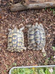 Landschildkröten Pärchen