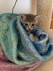 bkh kitten Whiskas noch 1