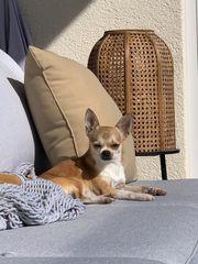 Suche Urlaubsbetreuung für meinen Chihuahua