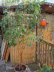 Ficus Benjamin ca 2 5