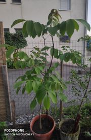 Wallnuss Baum