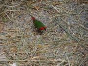 Rotköpfige Papageiamadine