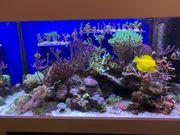 Korallenableger Korallen Ableger - viele Sorten