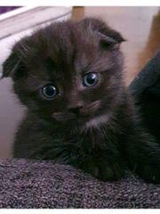3 BKH Baby Katzen Kitten
