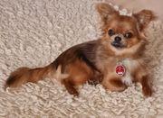 Chihuahua Deckrüde Loki