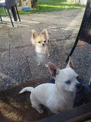 Zwei kleine chihuahuas