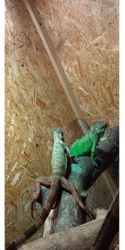 4 Iguana iguana abzugeben