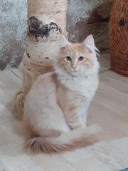 Norwegische Waldkatze -kater- abgabebereit