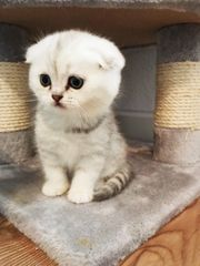 BKH Scottish Fold Kitten zu