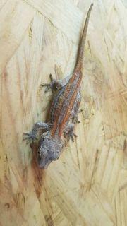 0 0 1 Rhacodactylus Auriculatus