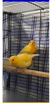 Pärchen Kanarienvögel