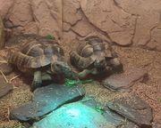 Marische Landschildkröten