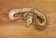 1 0 Leopard Pastel Calico