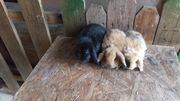 Reinrassige zwergwidder zwergkaninchen kaninchen