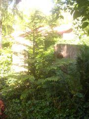konifere lebensbaum sorte sunquist ca