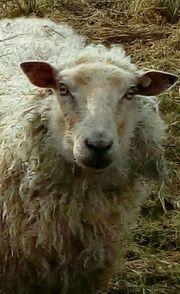 Merino-Wensleydale Schafe Lämmer