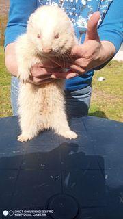 Selten sterilisierter Frettchen - Rüde Albino