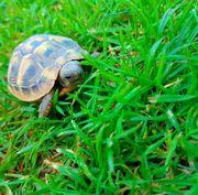 Griechische Landschildkröten Nachzucht 2019