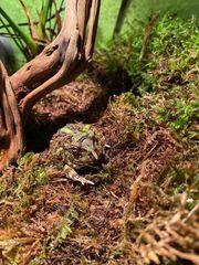 Schmuckhornfrosch Camouflage Pac-Man Frog abzugeben