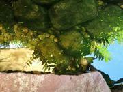 Goldfische und Shubunkin Goldfische ca