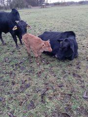 Angus- und Zebu-Kühe mit Kälbern