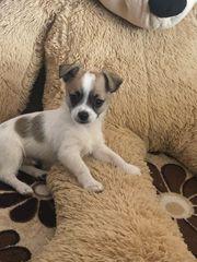 Chihuahua In Dresden Hunde Kaufen Verkaufen Auf Quoka De