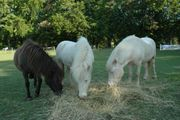 3 Shetland Original Ponys in