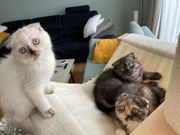 Scottish fold schottisch BKH Kitten