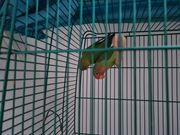 Vogel Pärchen mit Käfig