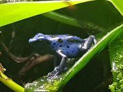 Dendrobates tinctorius azureus NZ20