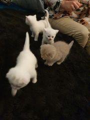 BKH Kitten Reinrassig Abgabe bereit