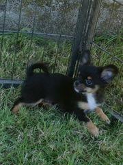 Wunderschöner Chihuahua Welpe sucht
