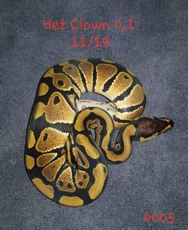 Reptilien, Terraristik - Het clown 0 1