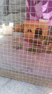 Zwei Meerschweinchen inkl Stall