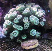 Diverse Korallen Versand möglich