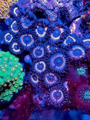 Korallen für Einsteiger - Weichkorallen LPS
