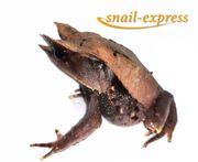 Zipfelkrötenfrosch - M nasuta