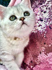 BKH Wunderschön kitten silver