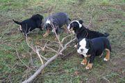 Super schöne Old Englische Bulldoggen