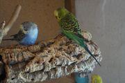 Wellensittich Henne blau und Babys