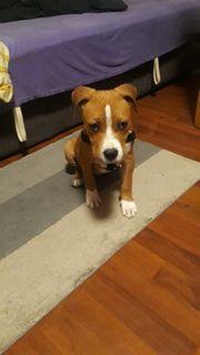 Riky Amer Stafford Terrier hund