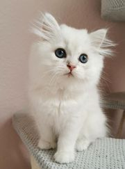 BKH BLH Kitten seal silver