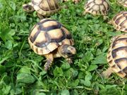 Breitbandschildkröten Testudo Marginata